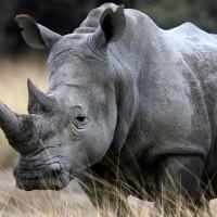 3D tiskárny mohou zachránit nosorožce a další ohrožená zvířata