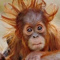 Xbox Kinect už používají i orangutani v zoologické zahradě